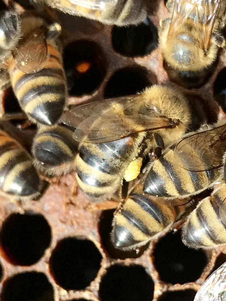 The yellow bag on this bees leg is pollen he has brought back to the hive.the pollen sticks to the long hairs on their legs.