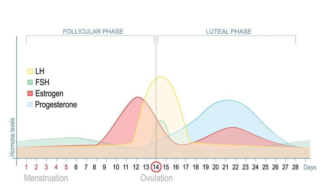 menstrual-cycle-oestrogen-dominance3_1024x1024.jpg