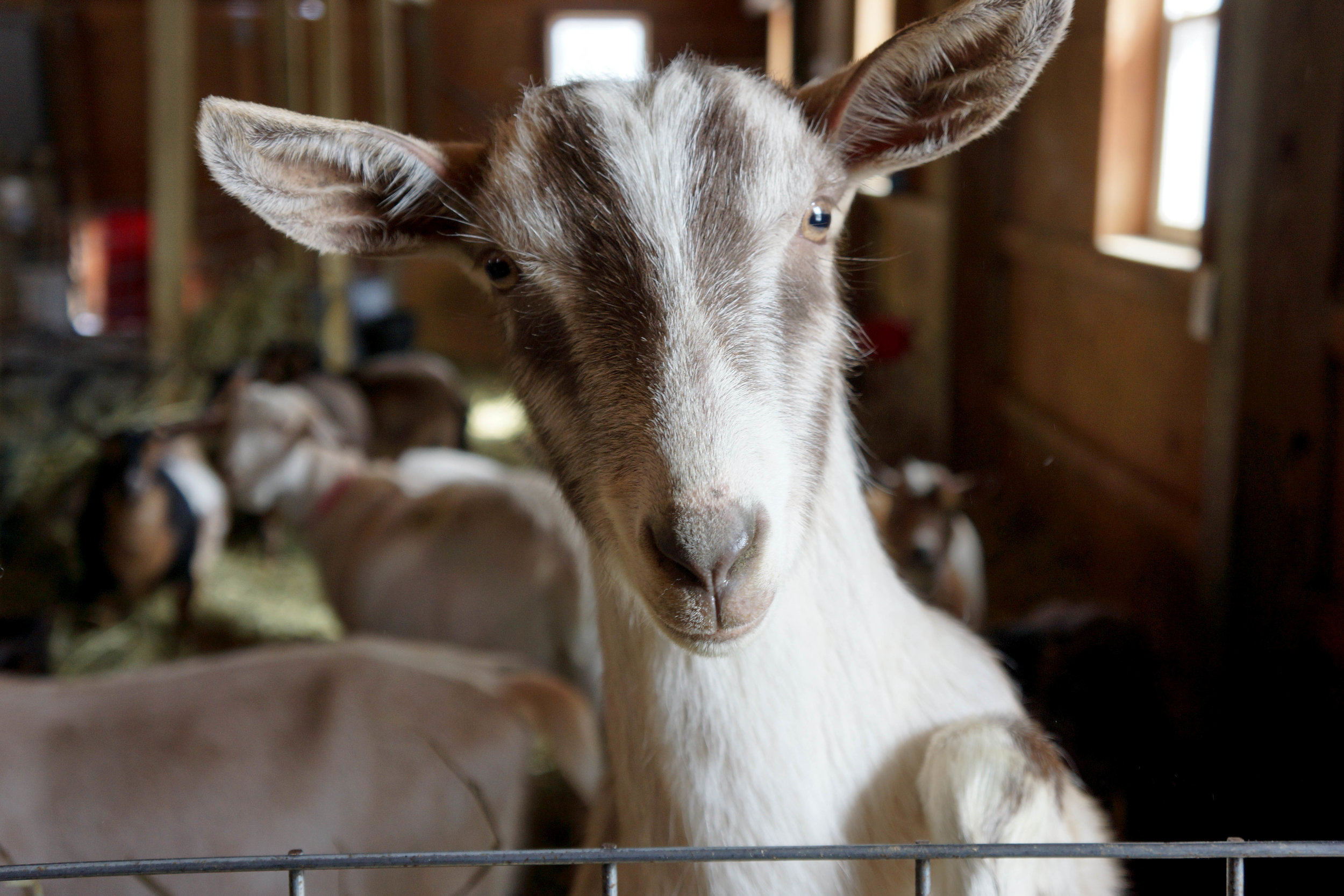 Goat are you looking at me.jpg