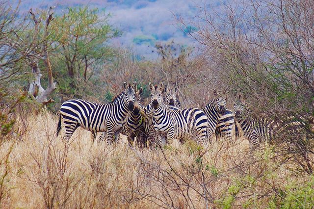 Let's leave Mt. Meru and head to Mkomazi National Park and go on a walking safari and maybe get stared down by Zebras. #tanzania