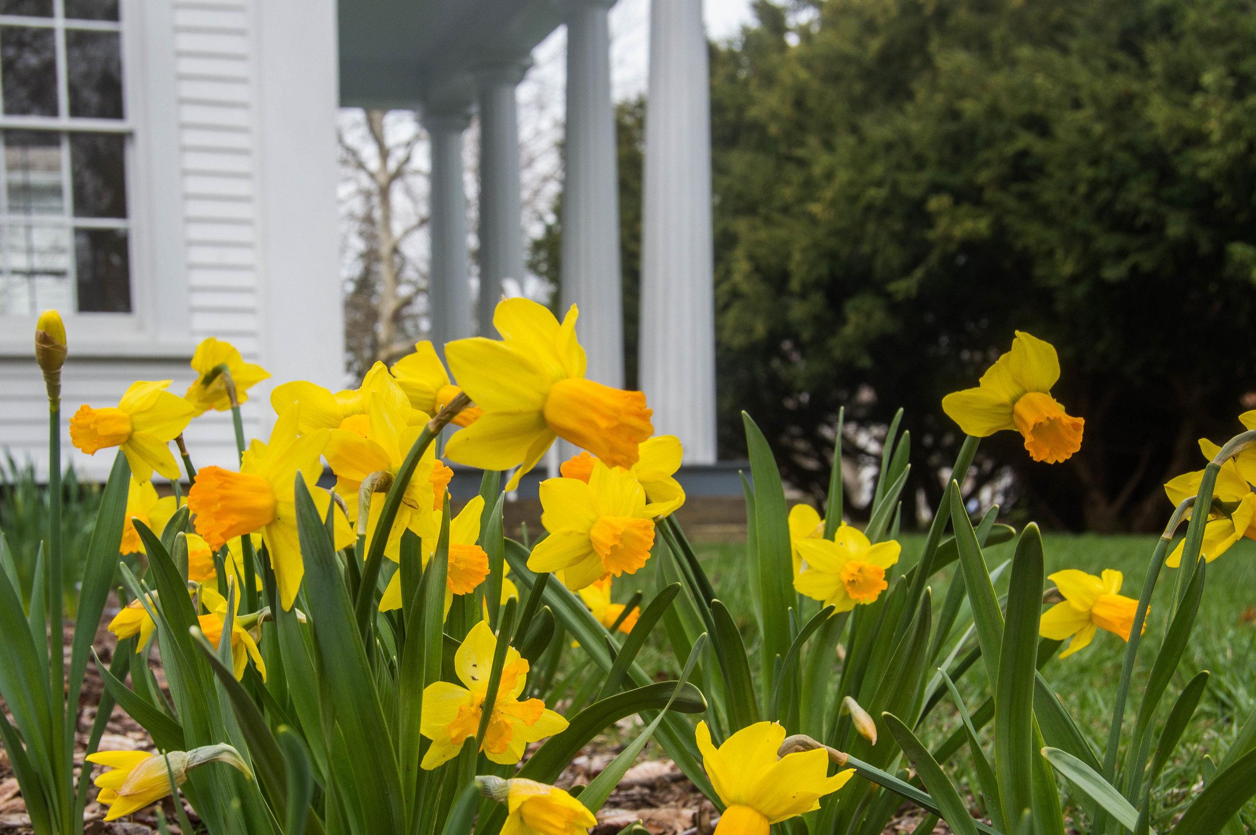 back lawn daffodils.jpg
