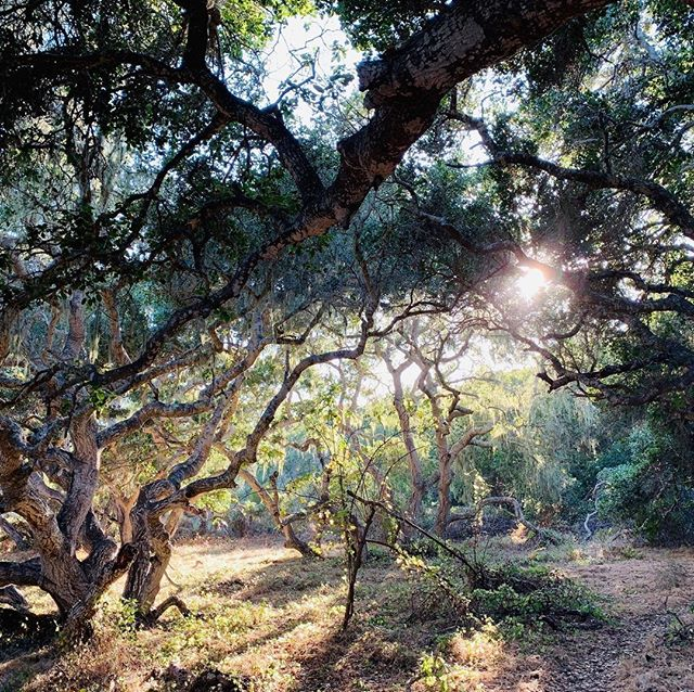 It's a beautiful day for a walk in the Los Osos Oaks Reserve. Bring a picnic and enjoy the late summer sunshine! http://ow.ly/5Uz650w34GO #VisitLosOsosBaywood #WildlyEnchanting #LosOsosOaksReserve photo credit: @lookatallthestars