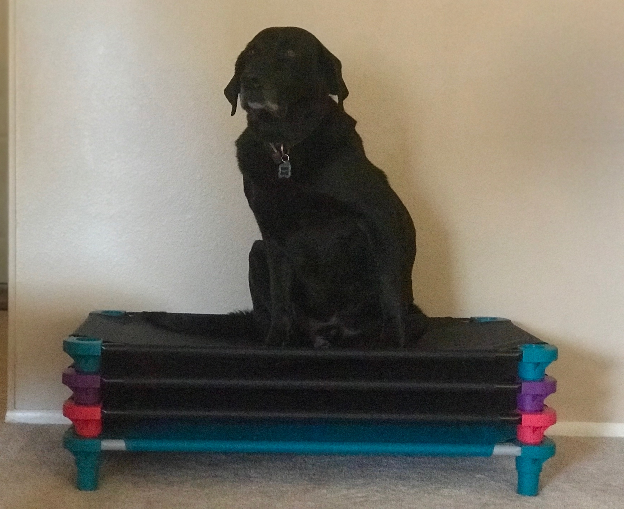Sammy's modeling our raised pet cots that are placed in each kennel to protect elbows from hygromas. A hygroma forms when the dog rests on a fairly hard surface. The pressure of his weight has created tissue damage over the elbow bones. The area is not able to heal because of the repeated tissue damage from the dog simply resting on his elbows. A fluid pocket forms as the body attempts to create its own cushion. This fluid pocket is called a hygroma. Thank you to my vet Dr. Geoff Berthiaume for the ongoing education over all these years!