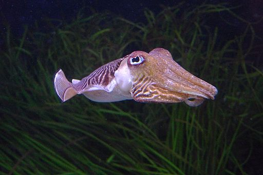 By David Sim from London, United Kingdom (Cuttlefish) [CC BY 2.0 (http://creativecommons.org/licenses/by/2.0)], via Wikimedia Commons