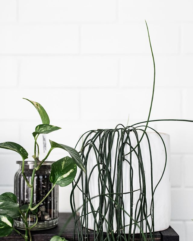 We're just as good at growing plants here @lexibannister_hair as we are at treating, nurturing and styling your healthy locks 😉 here is a snap from our little #interiorphotoshoot the other week, captured by the talented @leantimms 🙏🏻🙌🏻 it's important to us that our space reflects our values and beliefs, so that you guys feel relaxed & we channel all the creative vibes! Happy hump day peeps! @lexibannister_hair #lexibannisterhair .. .. #canberrahair #canberrahairdresser #canberrasalon #canberrahairstylist #interiorplants #plantasdeinterior #plantasinterior #plantinterior #indoorplantstyling #indoorplantlove #indoorplantsdecor