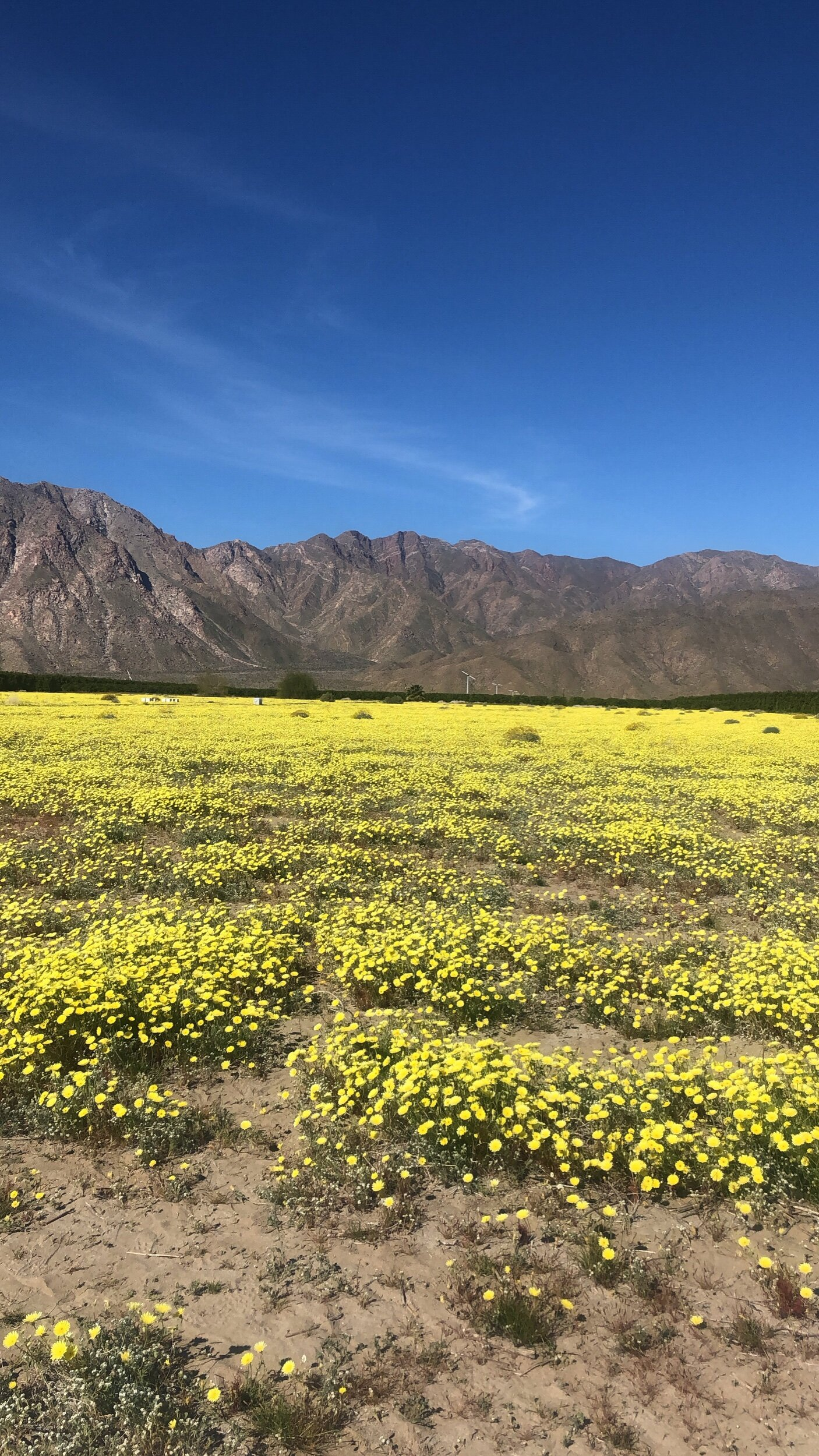 Saw the California desert superbloom