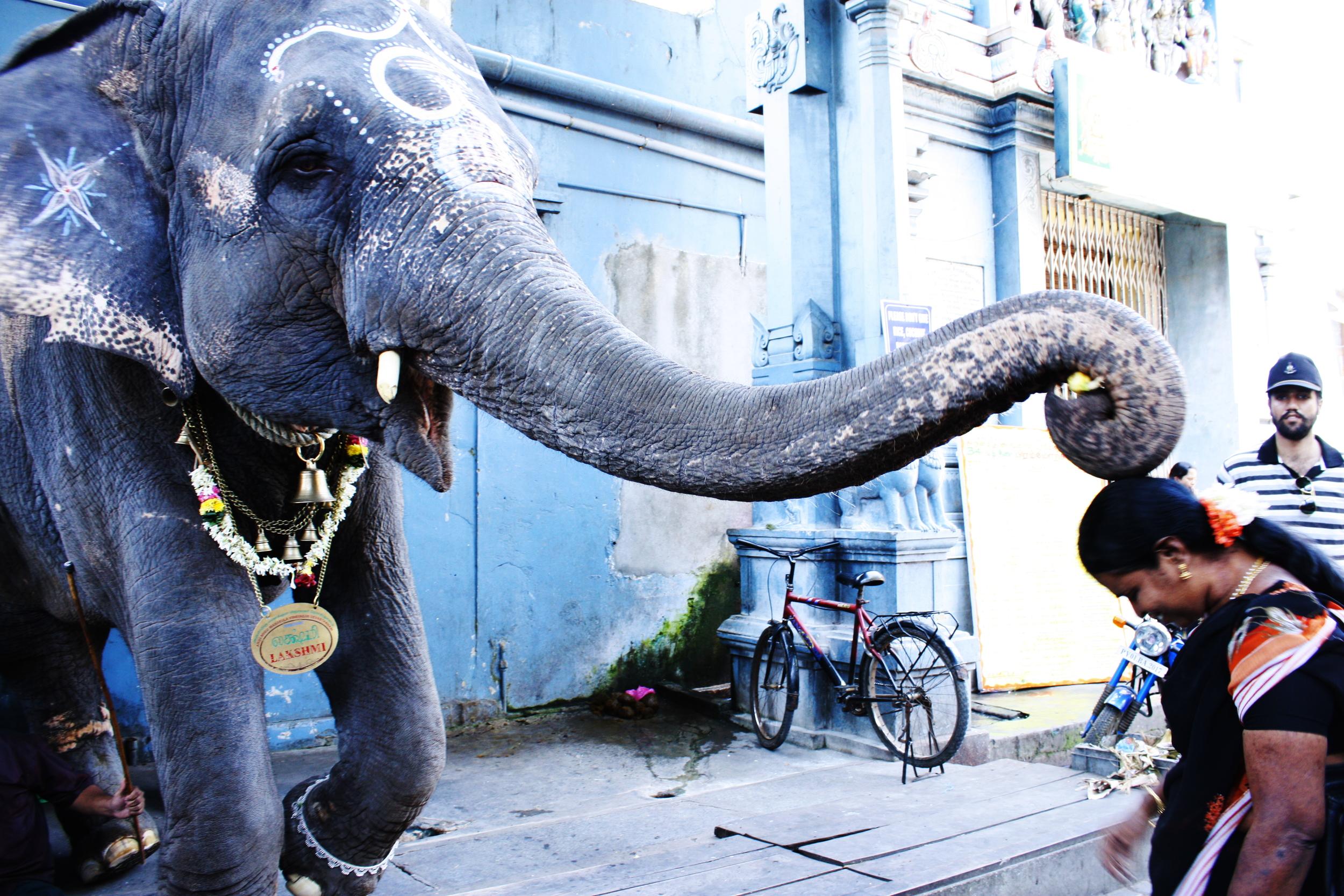 7the elephant of pondicherry - alexis dubourdieu.JPG