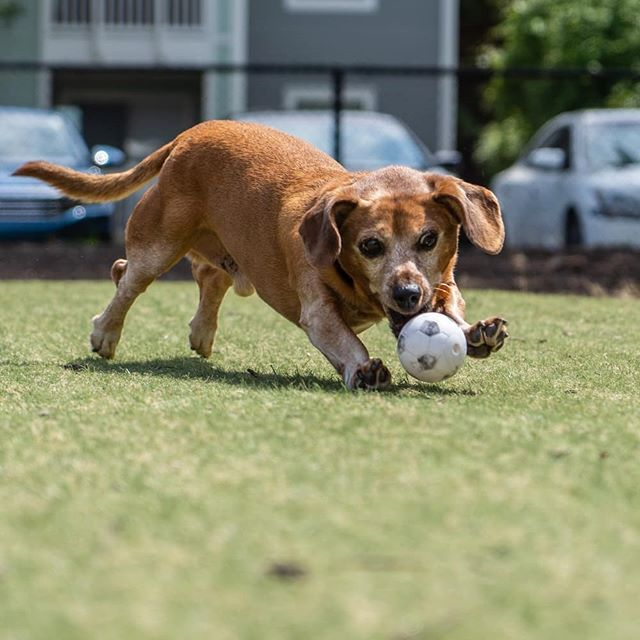 Keep your eye on the ⚽! Zeke has exciting news coming soon.  #dachshund #dachsundsofinstagram #chiweenie #a7iii #sonyalpha #sonyalpha7iii