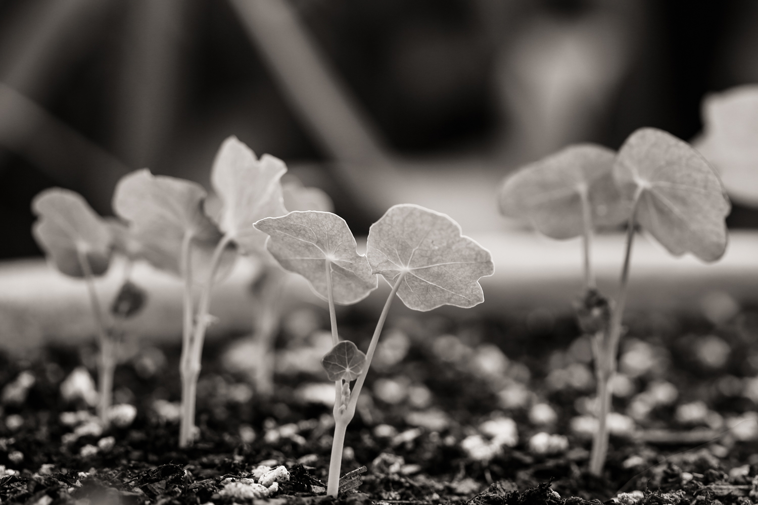 Baby nasturtiums, from the Gardenscapes portfolio