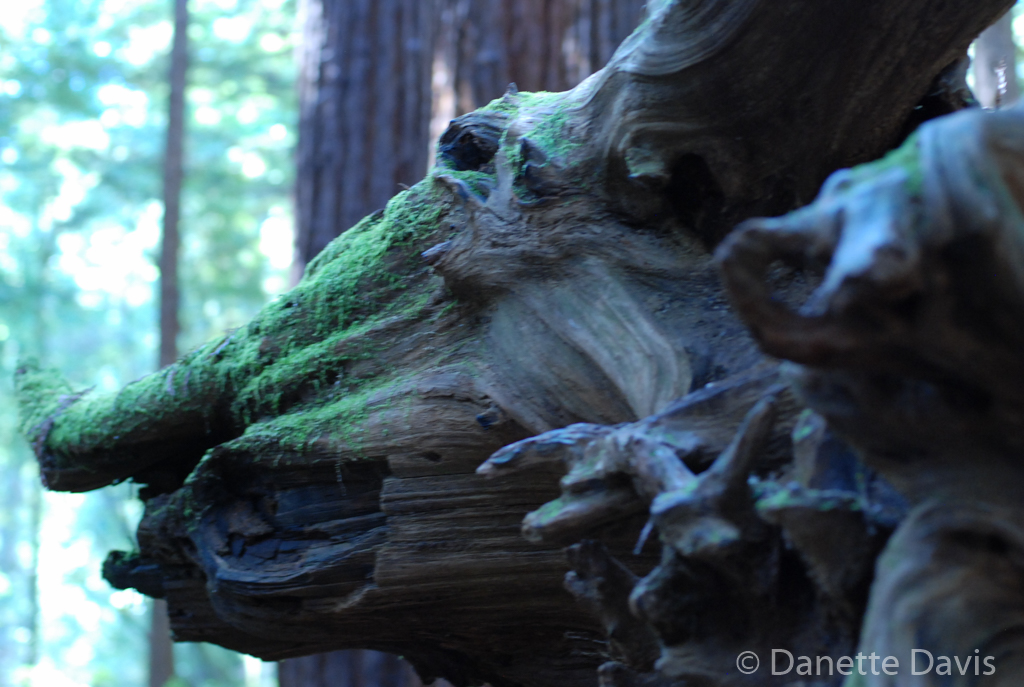 Dragon in the Forest,  California