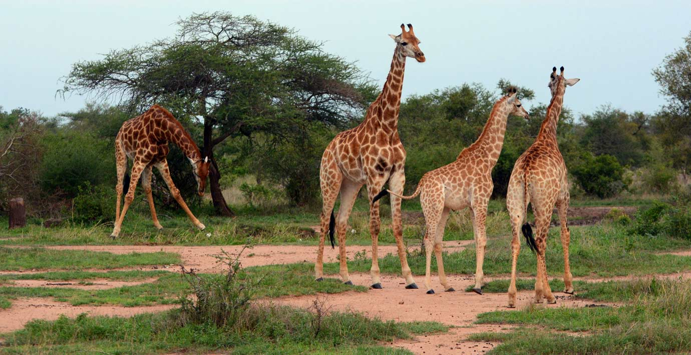 Safari-Index-Cradle-of-Humankind-and-Northern-Safari-Tour-Kruger-National-Park-Wildlife-Giraffes.jpg