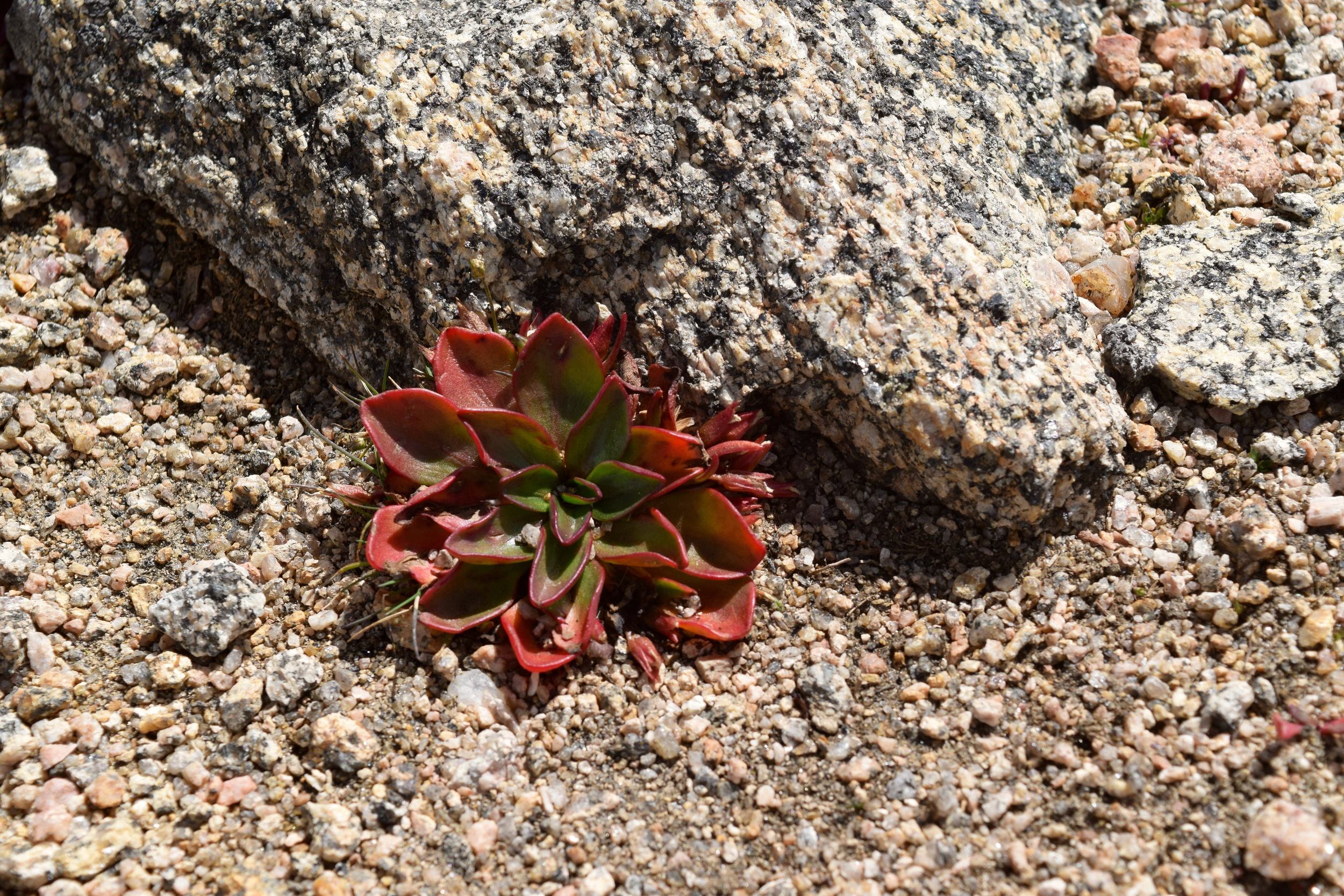 At around 13,600 feet, these adorable little succulents are the only things that will grow!