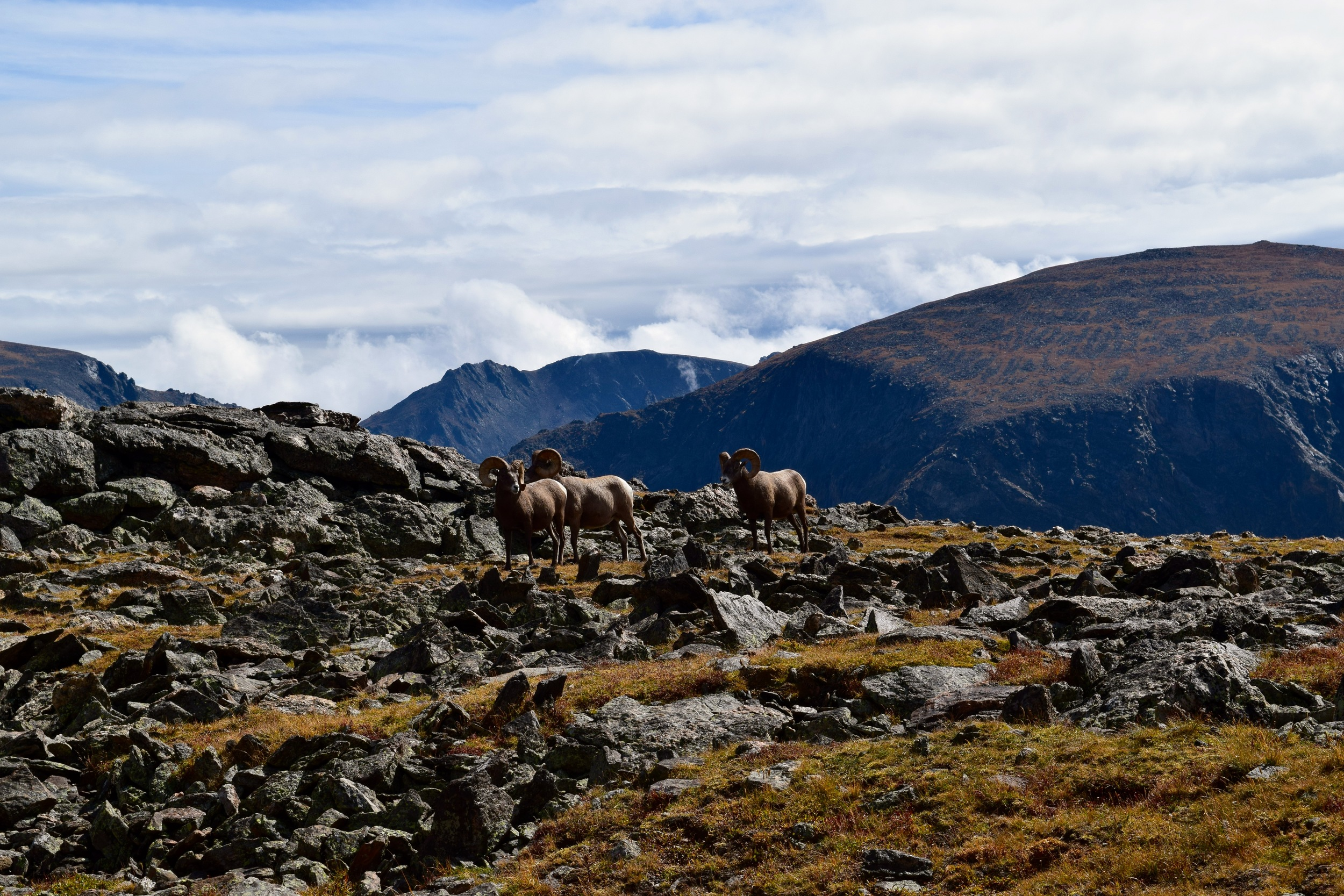 Big Horn Sheep, we were about 15-20 yards away from them, even though my lens doesn't make it look that way