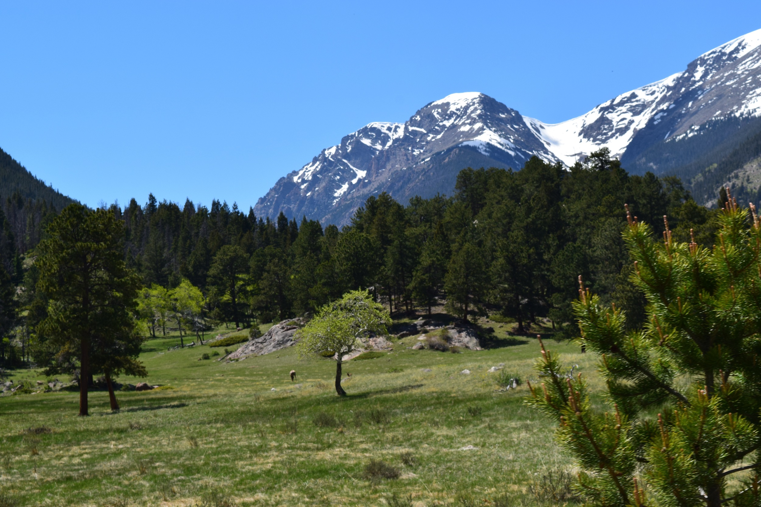 Always forgetting my zoom lens when I really need it - but the small speck to the right of that tree is a elk calf! If you can't see it, just admire those mountains in the background.