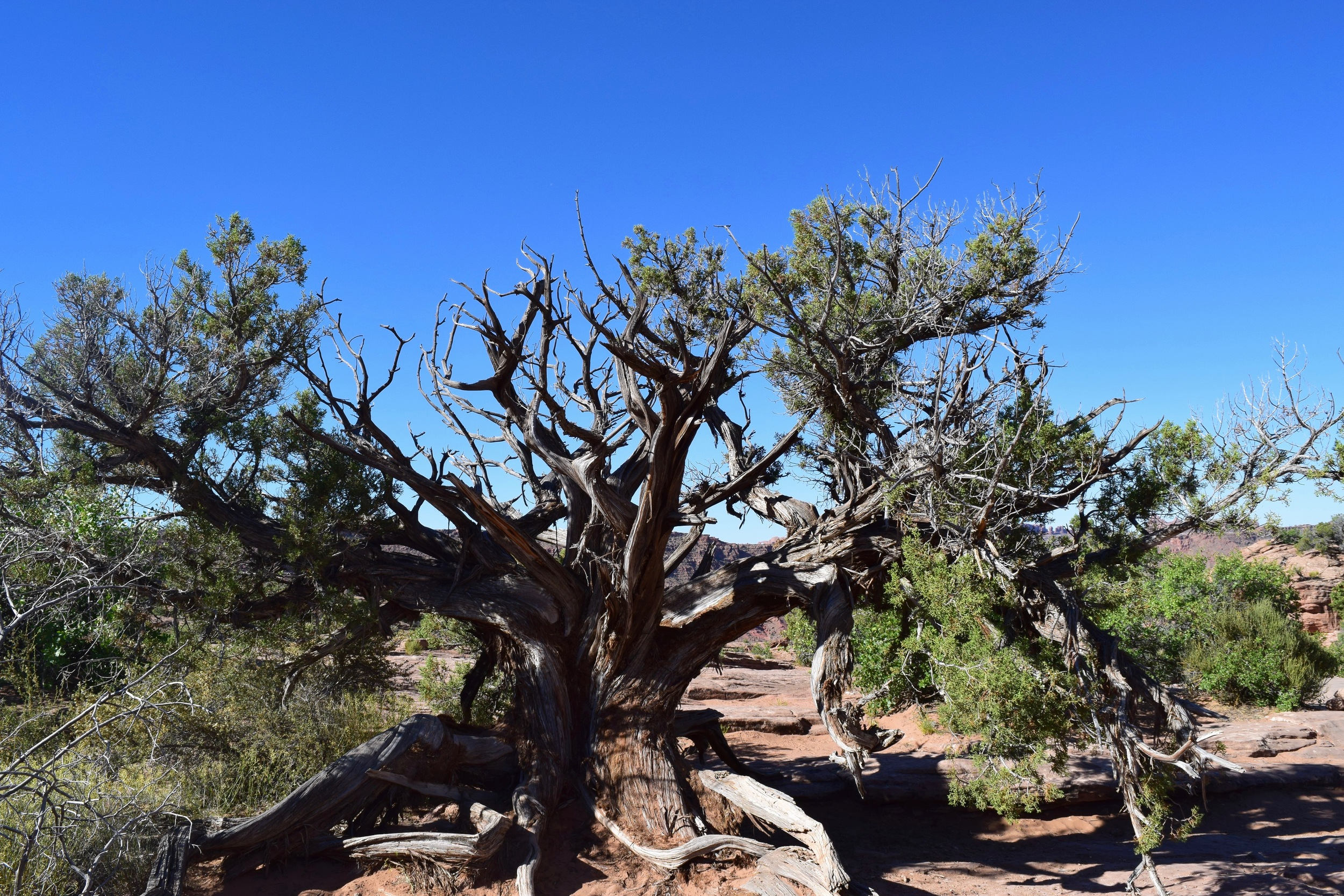 I've shared two pictures of Juniper Trees because they are so cool and show desert adaptation at its finest! In order to survive the ridiculous climate, they isolate their growth each year to a few branches, letting the others die.