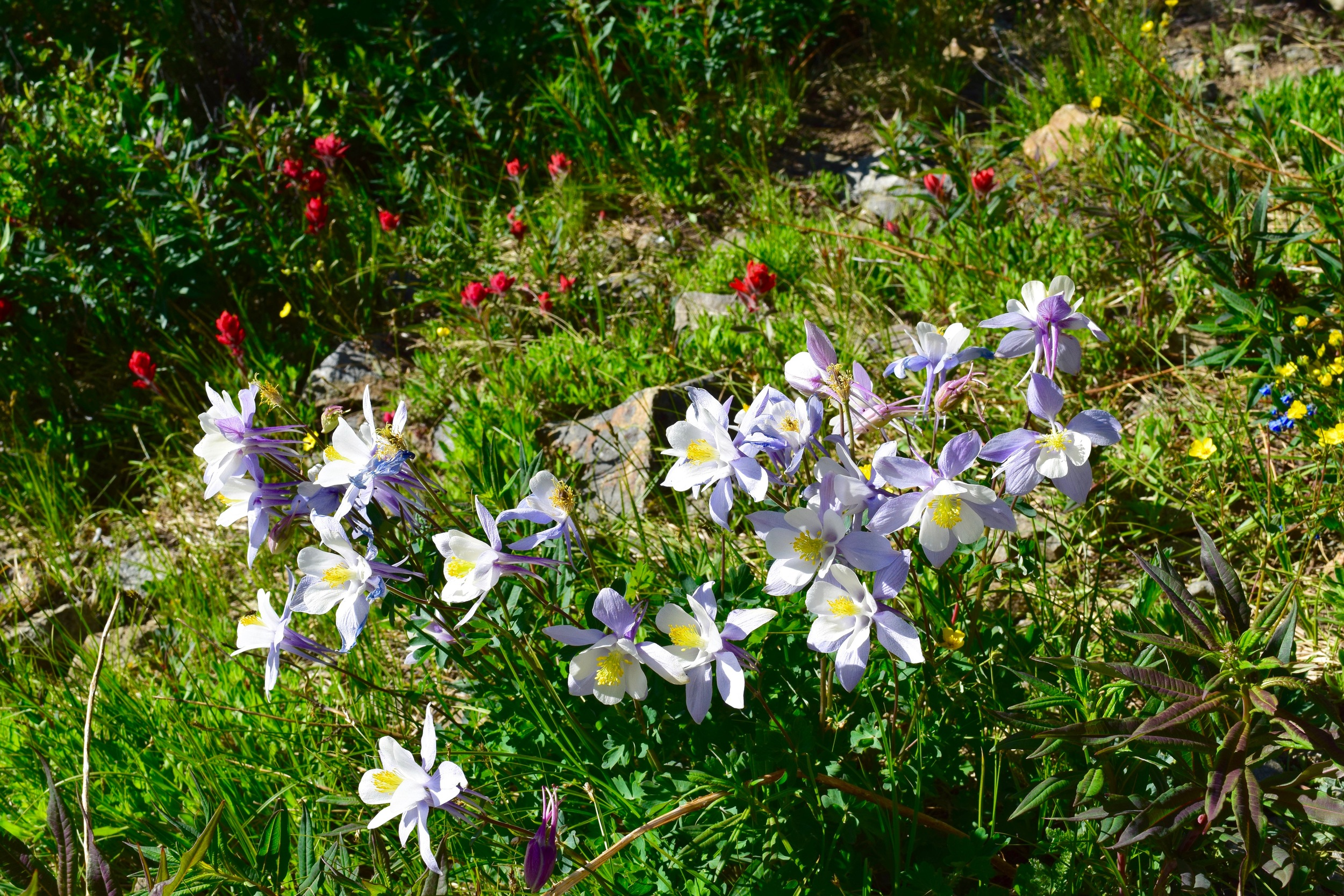 The Columbine - state flower!