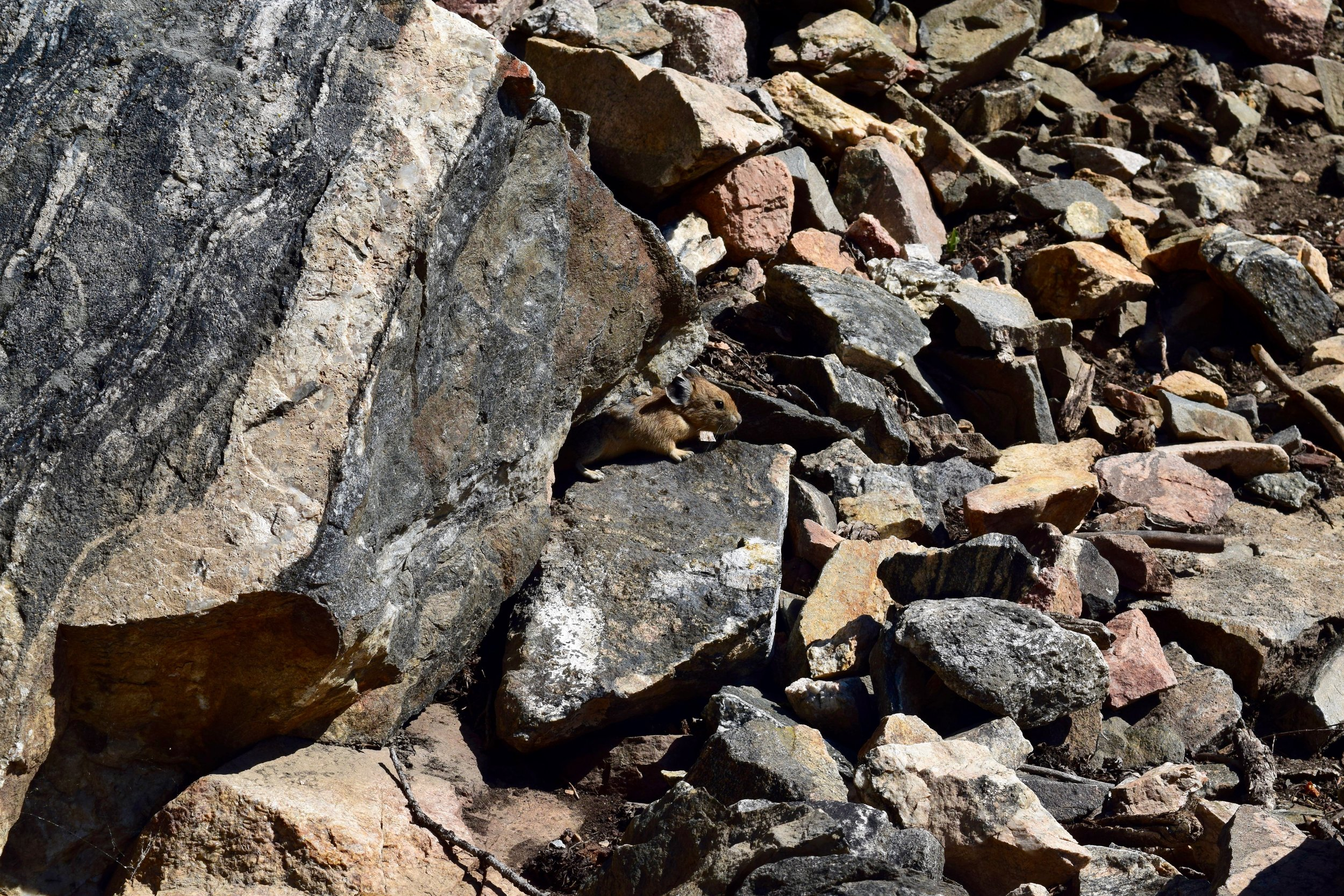 I found a little pika friend on the way up!