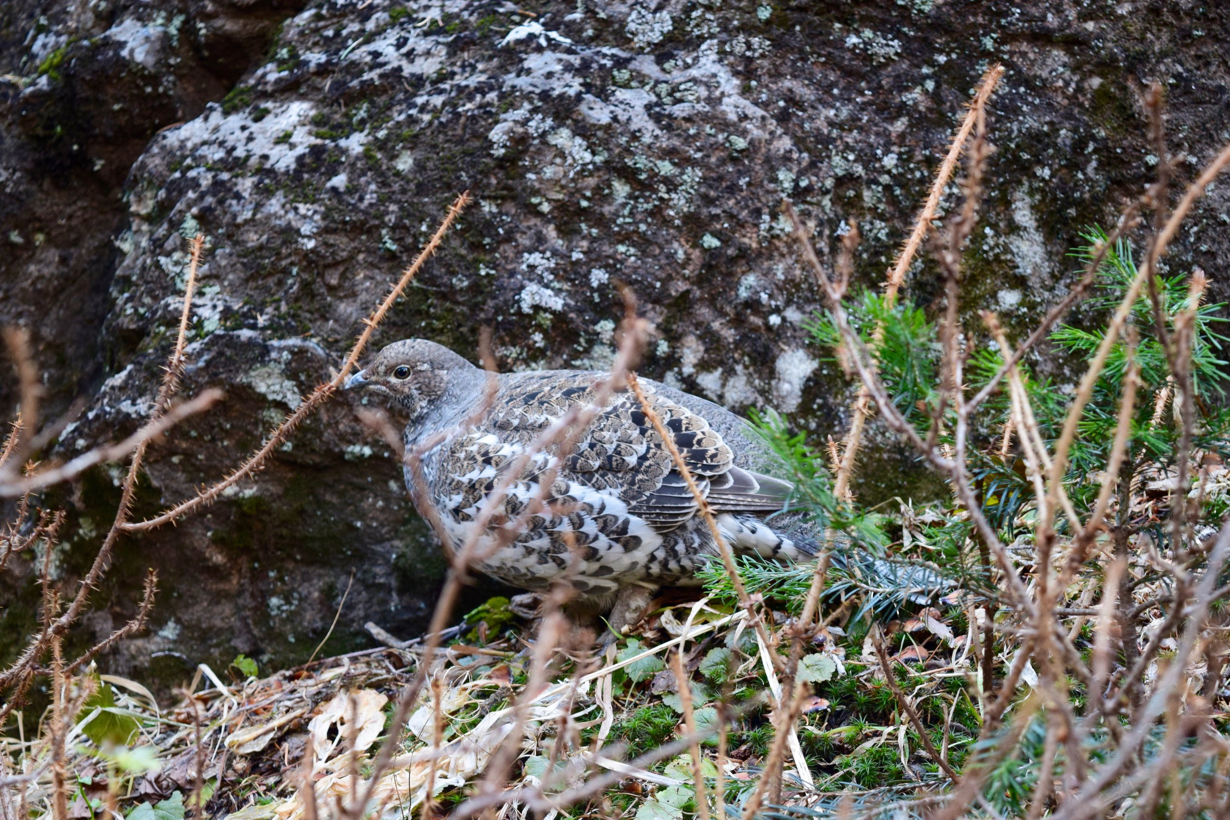 99% sure this is a ptarmigan - I'd never seen any before and there were three right off the trail!