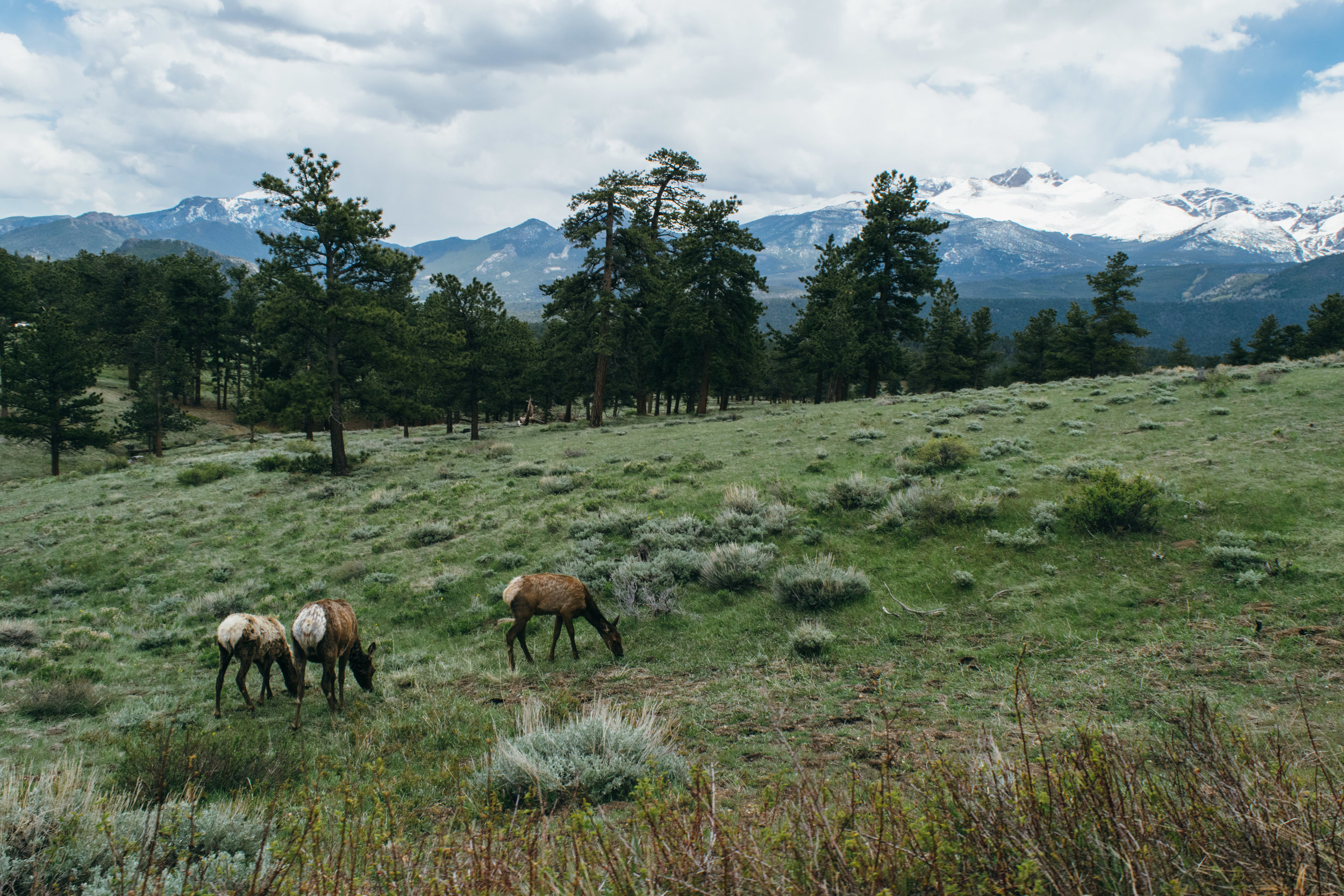 It's spring, which means the elk are EVERYWHERE in Rocky Mountain right now.