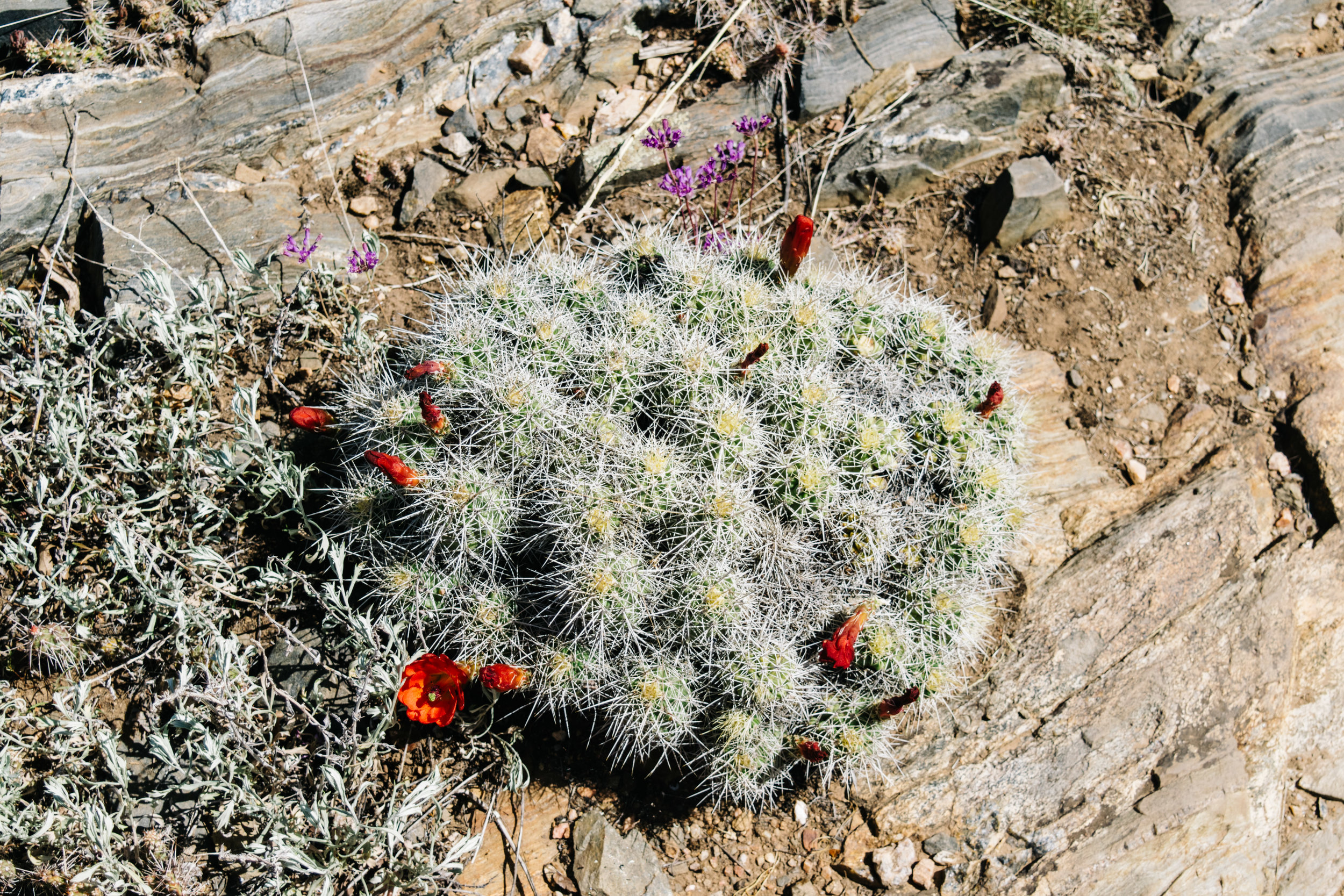 Bonus: here's the state cactus of Colorado! The Claret Cup Cactus was named state cactus in March of this year.