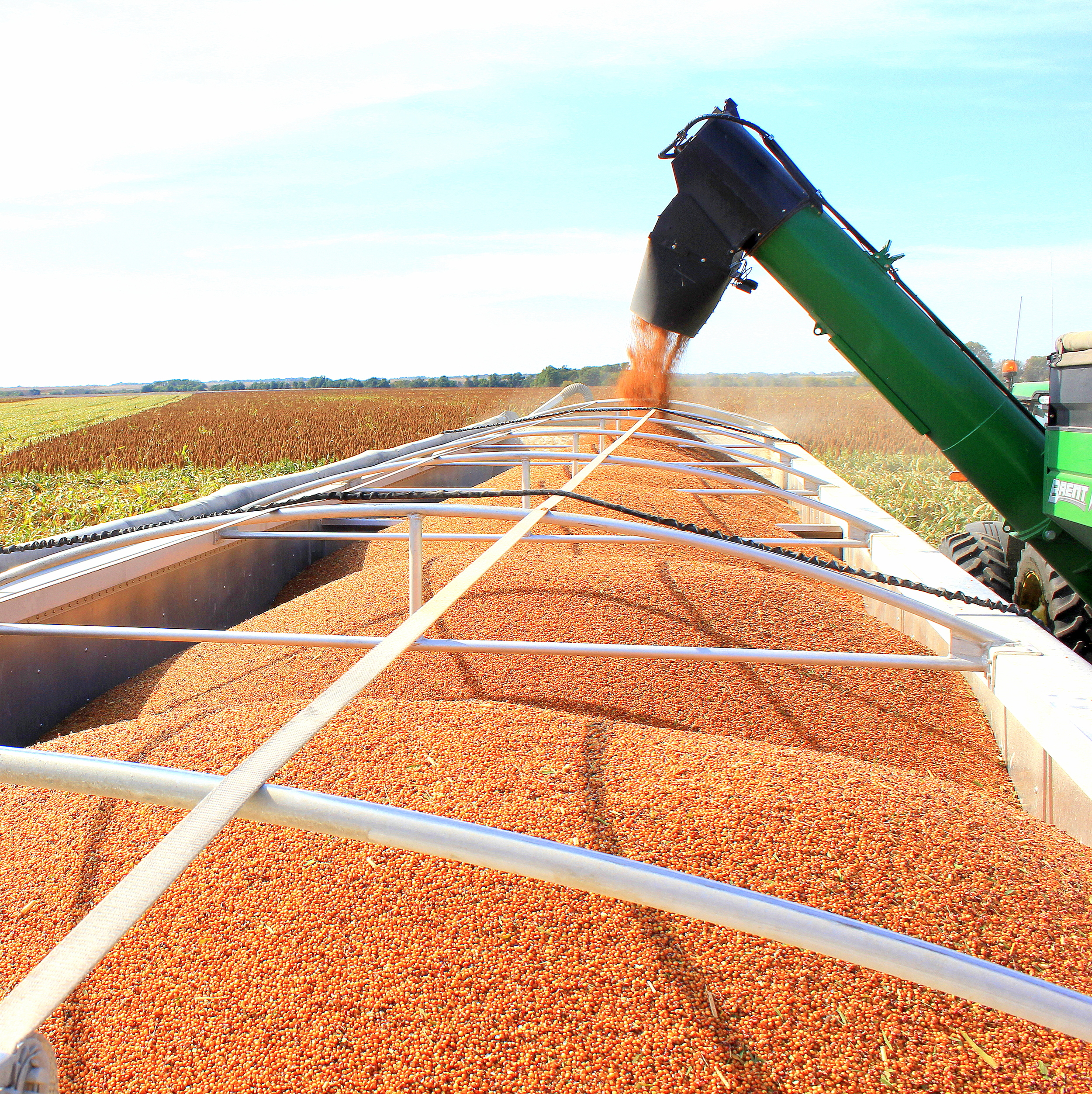 Milo (Sorghum) Harvest 2015 from Peas and Hoppiness - www.peasandhoppiness.com