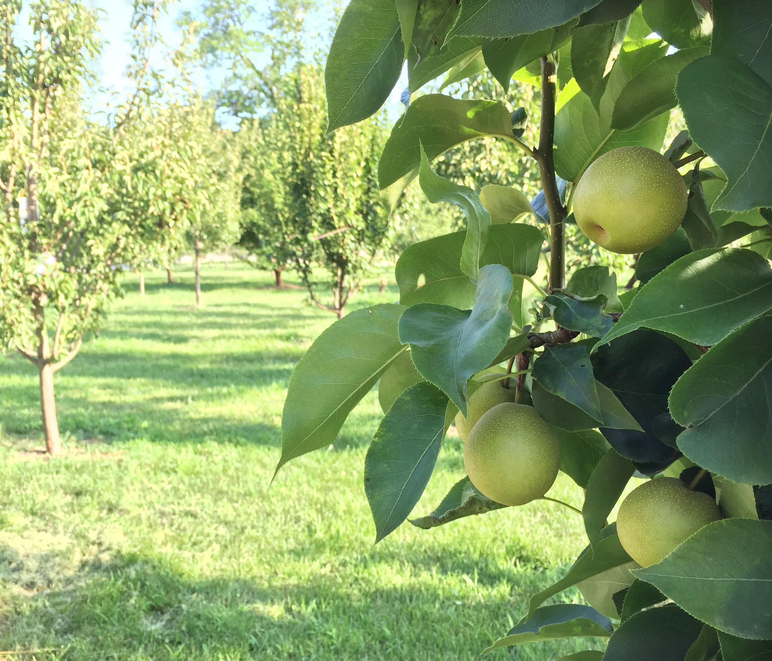 Asian Pear Tree