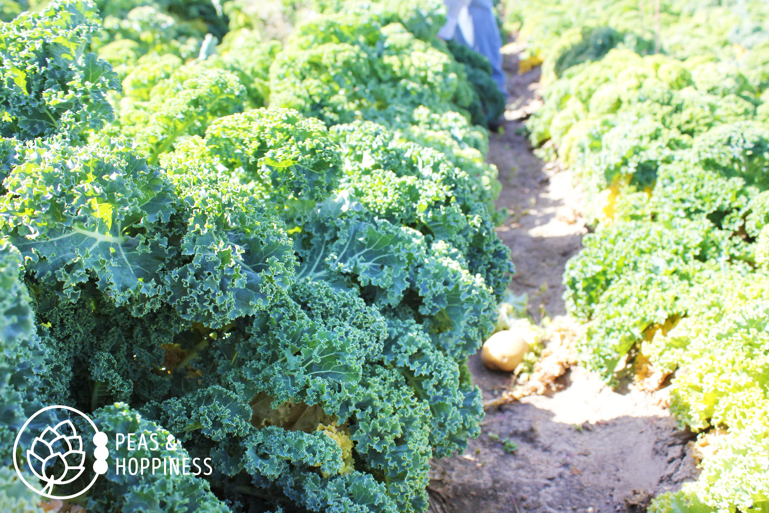 Beautiful kale ready for picking at Miller Farms' Fall Festival
