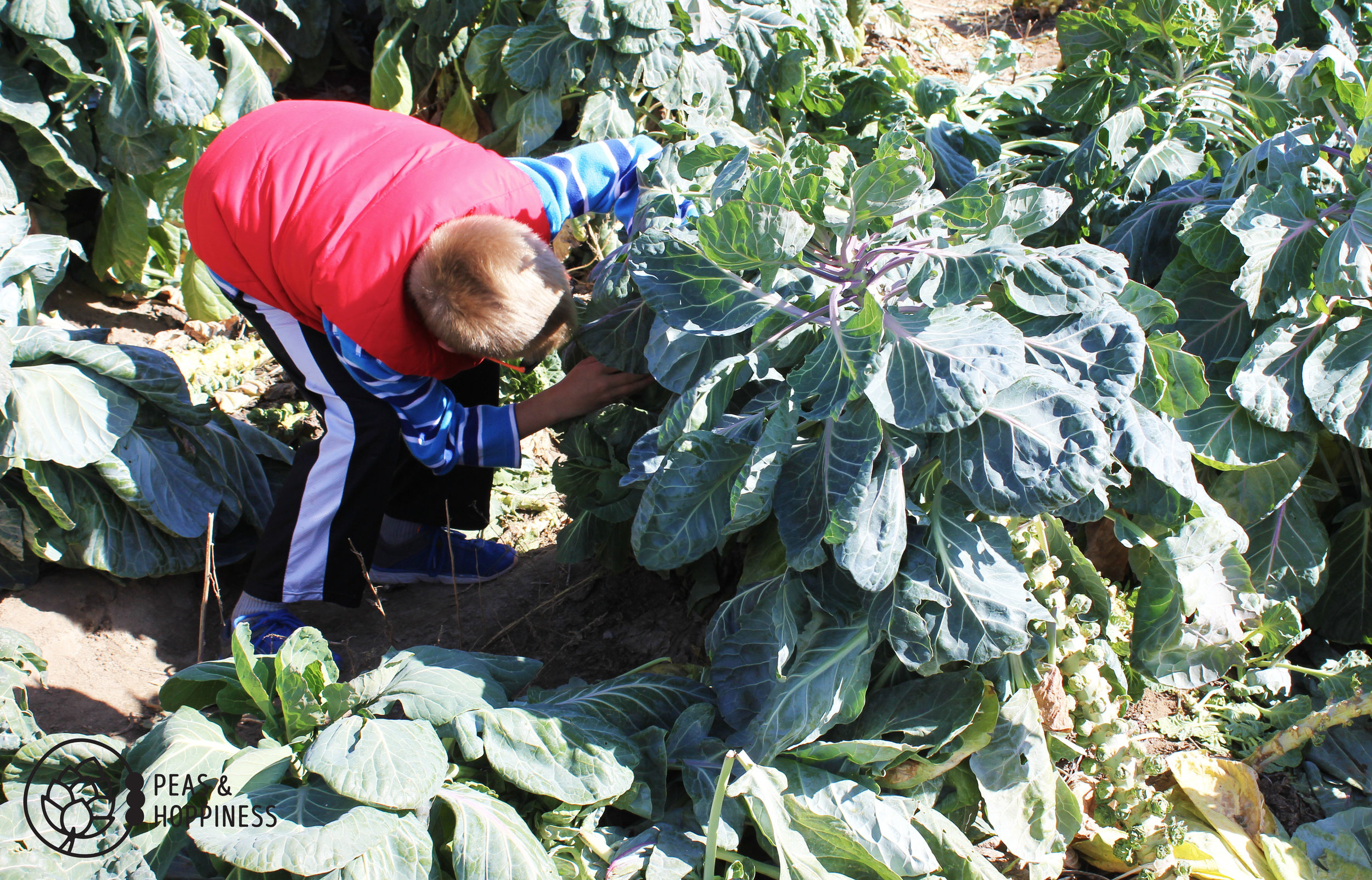 Searching for the elusive Brussels sprout at Miller Farms' Fall Festival