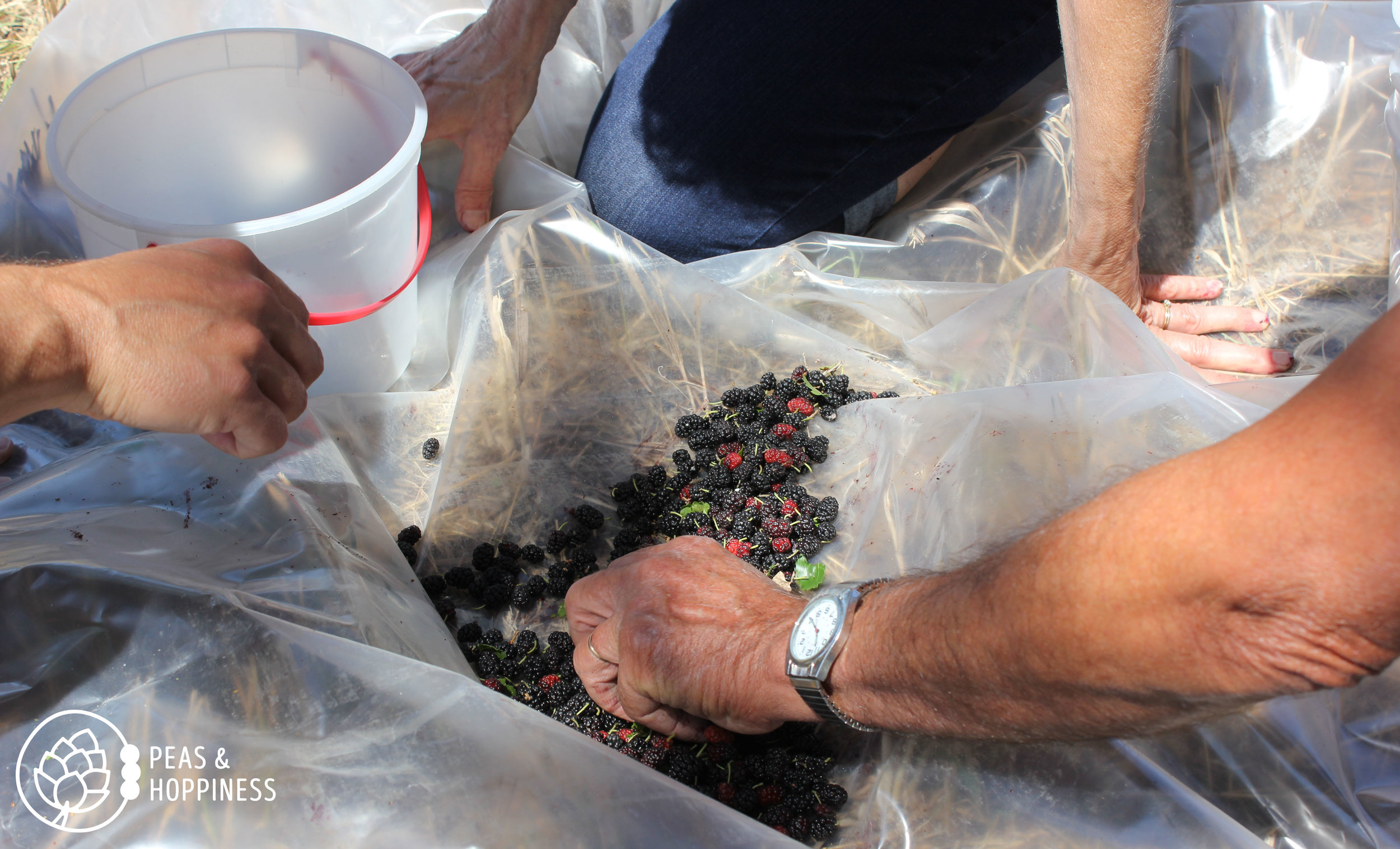Sorting the berries from the critters