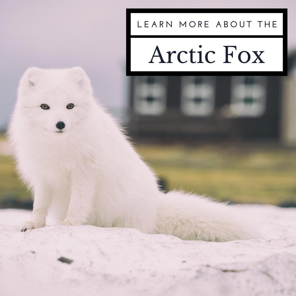 arcticfox.jpg