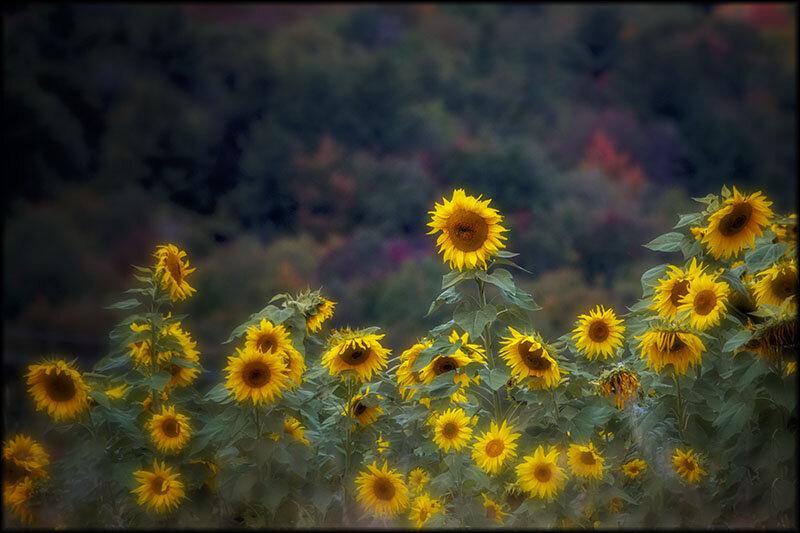 03397pxp.Joy_of_the_Sun.jpg