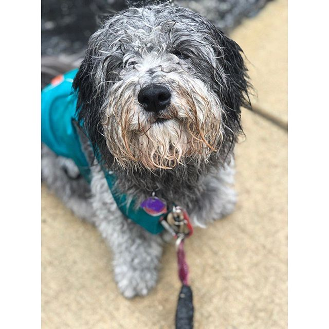 Cloudy with a chance of fluff balls 🌧 #summerrain #dogsofig #dogstagram #dogsofinstagram #packlove #individualwalks #havanese #poodle #poodlemix #mutt #havaneselove #havanesedog #dogsofinstagram #muttstagram #dogsofboston #ig_somerville #igboston #dogwalker #secondchancewalking #somerville #cambridgema #medford #boston