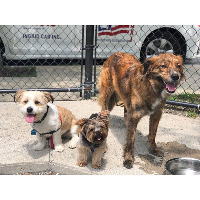Three little piggies 🐷 🐷 🐷 #packlove #parkplay #thiscrew #dogsofig #dogstagram #dogsofinstagram #yorkie #yorkshireterrier #yorkiesofig #shihtzu #poodlemix #shoodle #shepherd #plotthound #australianshepherd #shepherdmix #muttstagram #houndstagram #ig_somerville #igboston #dogwalker #secondchancewalking #somerville #medford #cambridge #boston