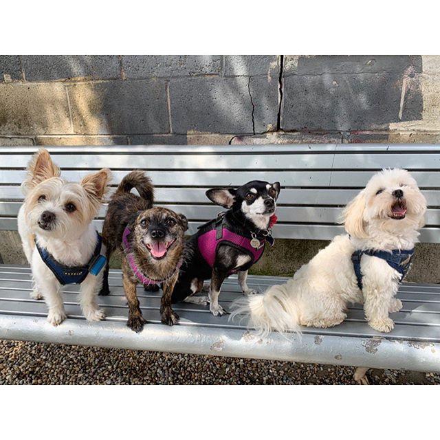 Happy #LDW from this small & mighty crew 🐛#threedayweekend #packlove #dogsofig #dogstagram #dogsofinstagram ##chihuahuagram #chihuahua #chihuahuasofinstagram #maltese #maltesemix #shihtzu #malteseshihtzu #muttstagram #dogsofboston #ig_somerville #igboston #dogwalker #secondchancewalking #somerville #cambridgema #medford #boston