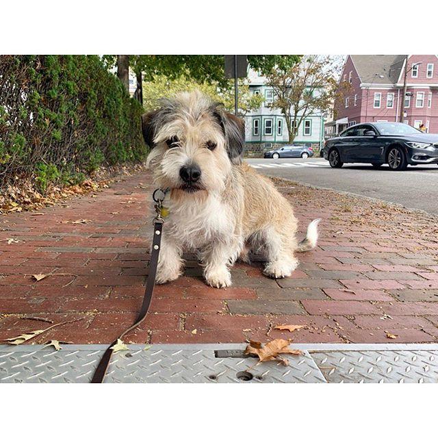 Supporting the pawlitical campaign of Bernie (the dog) 2020! 🐾 #treatsforall #newpackmember #dogsofig #dogstagram #dogsofinstagram #bulldogmix #terriergram #muttsofig #welovemutts #lowrider #dogsofboston #ig_somerville #igboston #dogwalker #secondchancewalking #somerville #cambridgema #medford #boston