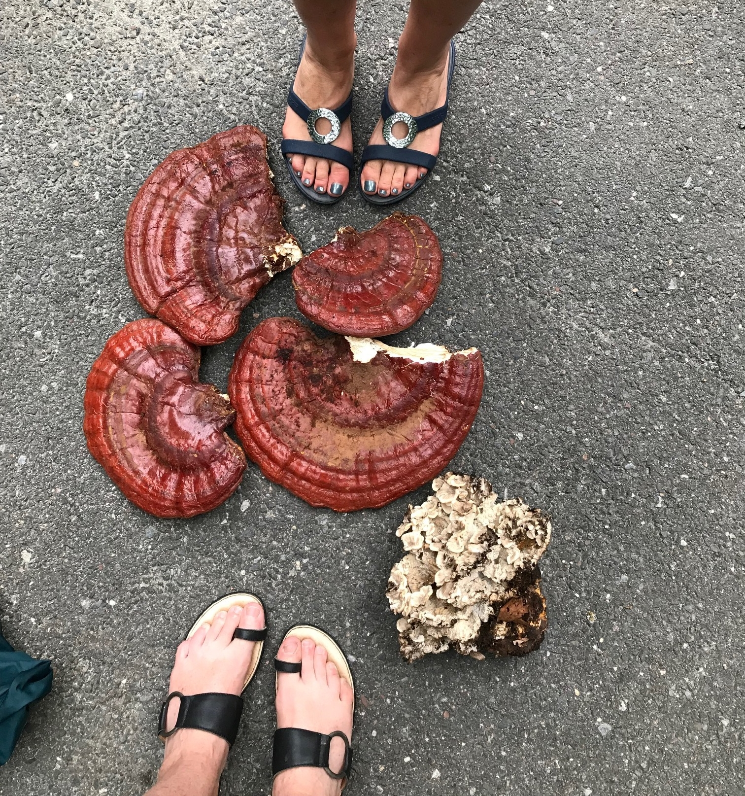 The reishi I found this past spring growing in CT. The white mushrooms are black staining polypores. I thought they were miatake but it was too early.