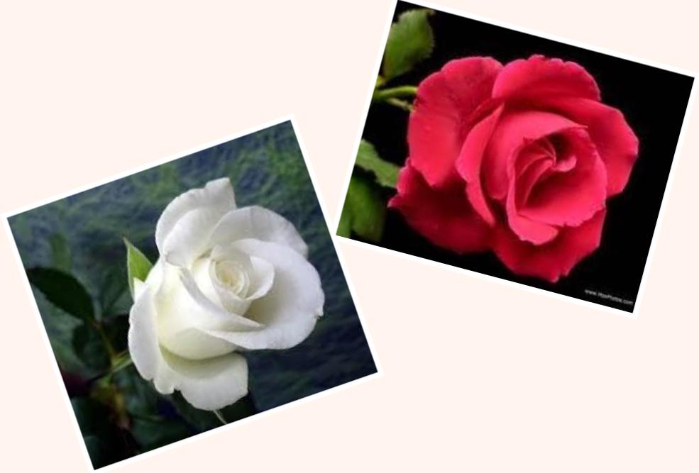 Hoa hồng cài áo mùa Vu Lan. Nguồn internet.