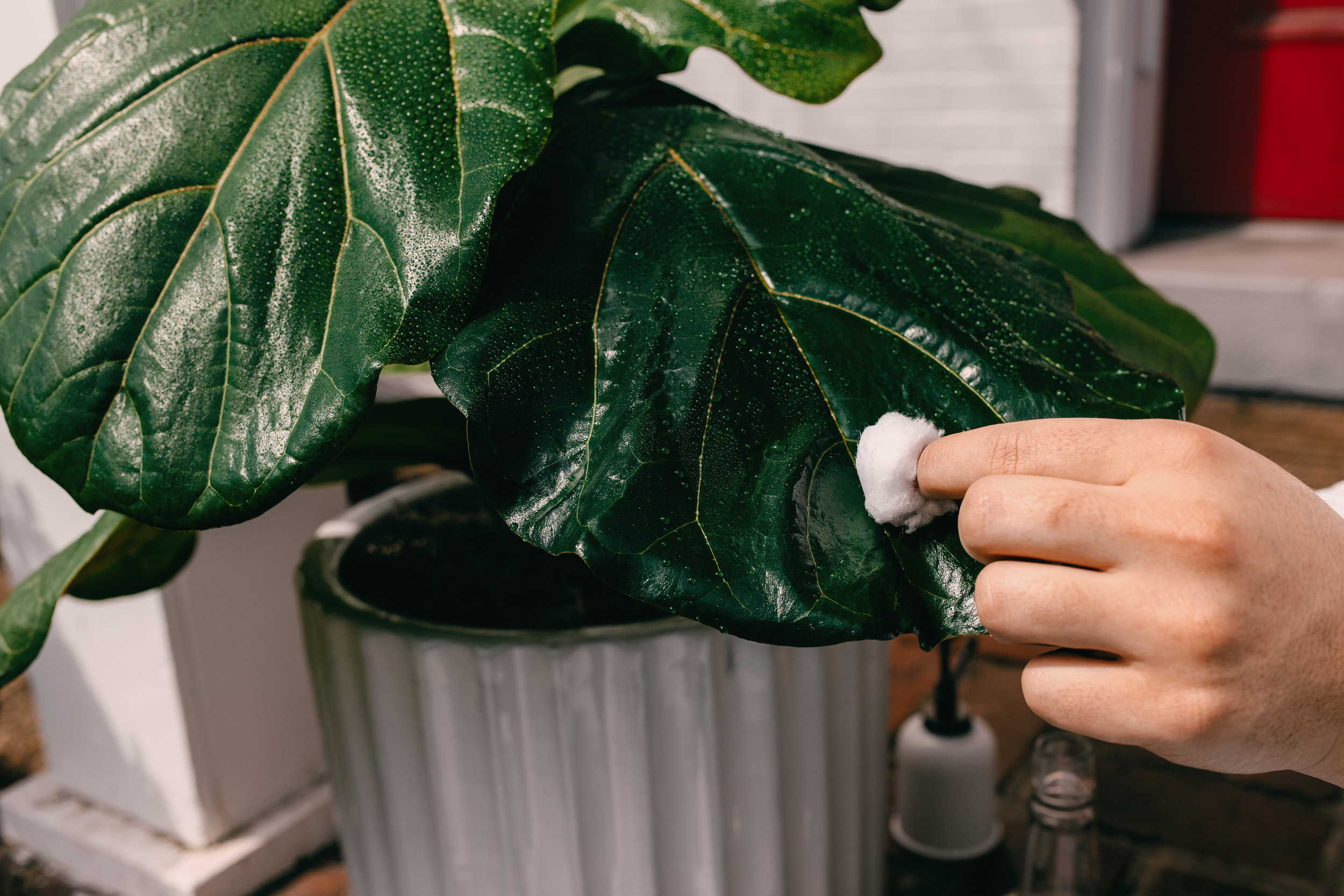 3. Wipe the infected area again with a clean, dry cotton ball to remove any pests or residue from the leaf.