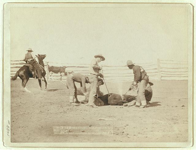 Cowboys Branding a Calf | Circa 1888