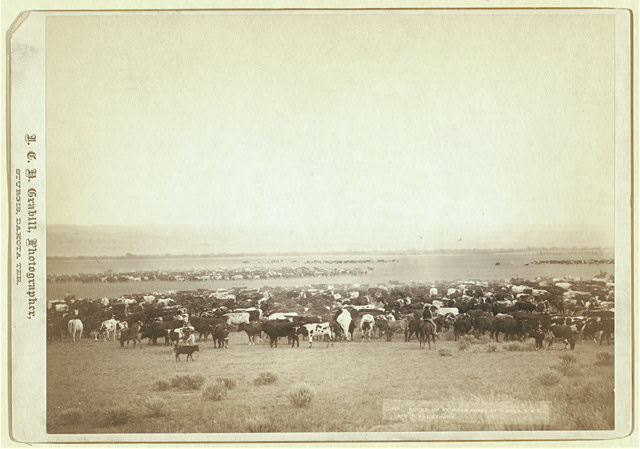Cowboys Herding Cattle with Three Additional Herds in the Background | Circa 1887