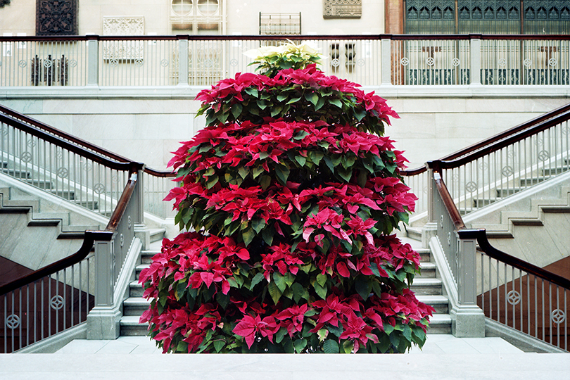 Pointsettias.jpg