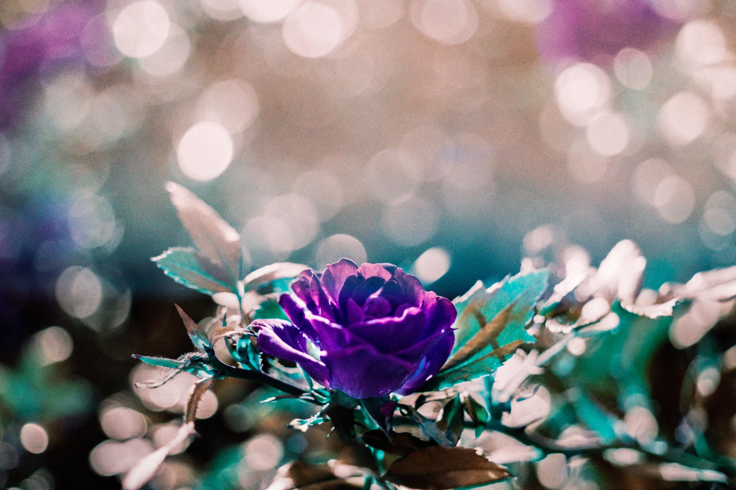 Rose Dawn