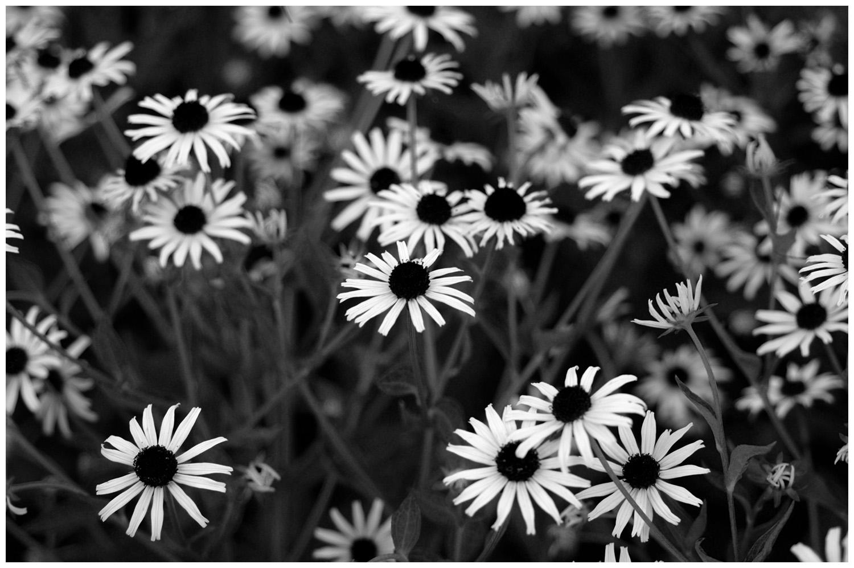 DT_6446_daisies.jpg