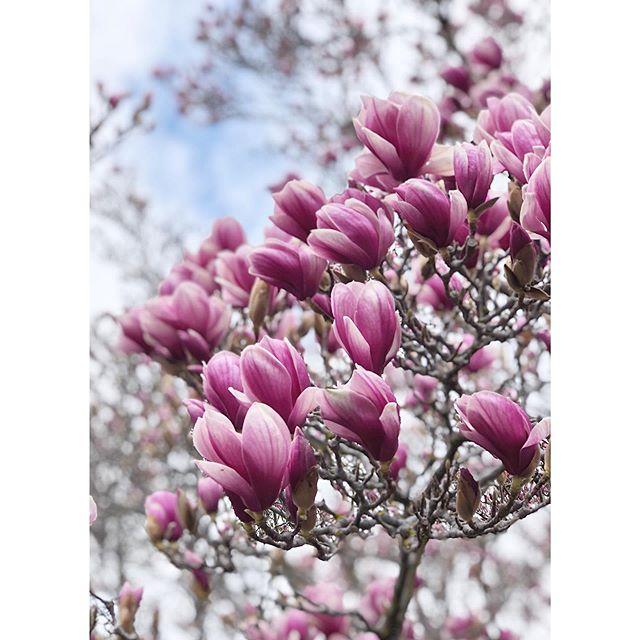 Stunning Magnolias 💕 . . . . #visit_orange #orange360_allyearround #orange360 #visitorange #springtime #floralphotography #unearthcentralnsw #countrystyleloves