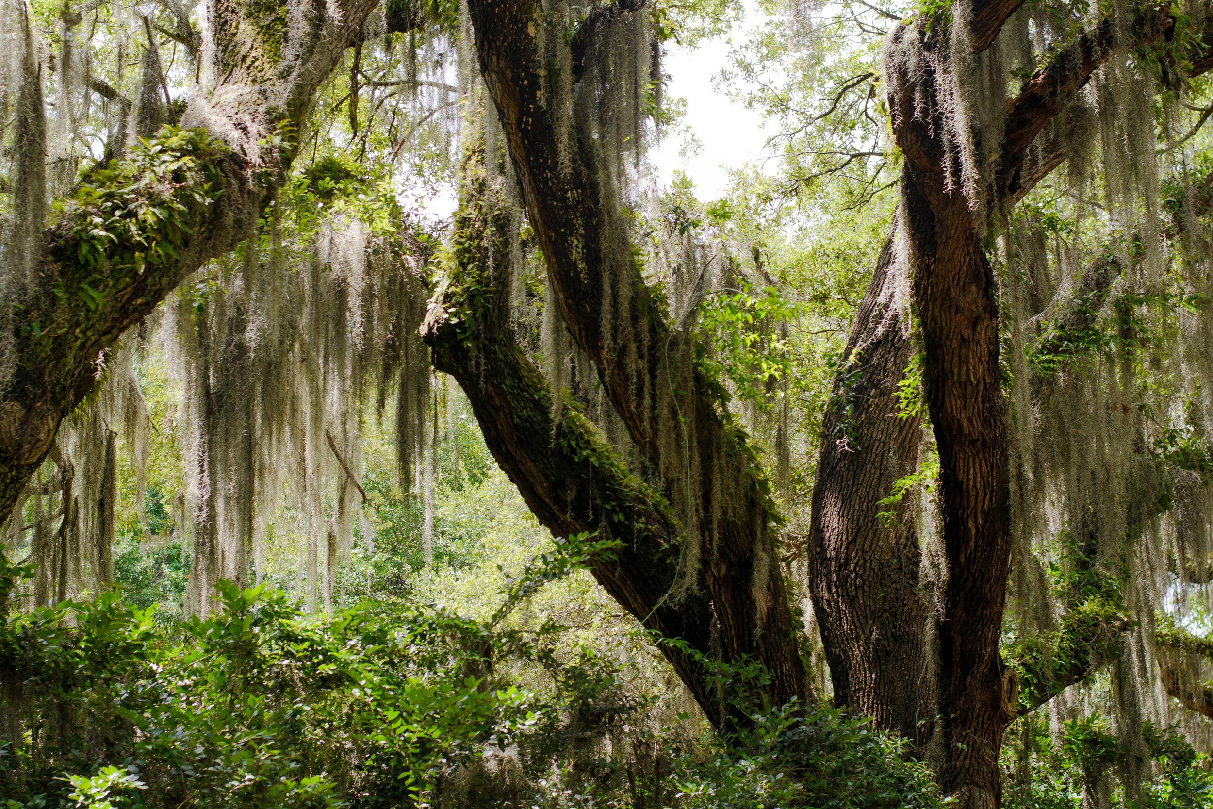 Spanish Moss Savannah GA.jpg