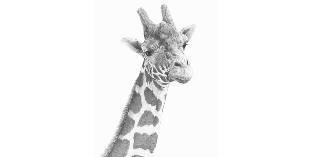 Andrew Howells_Giraffe