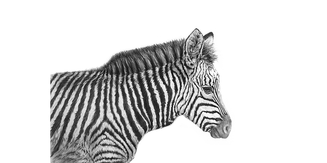 Andrew Howells_baby Zebra