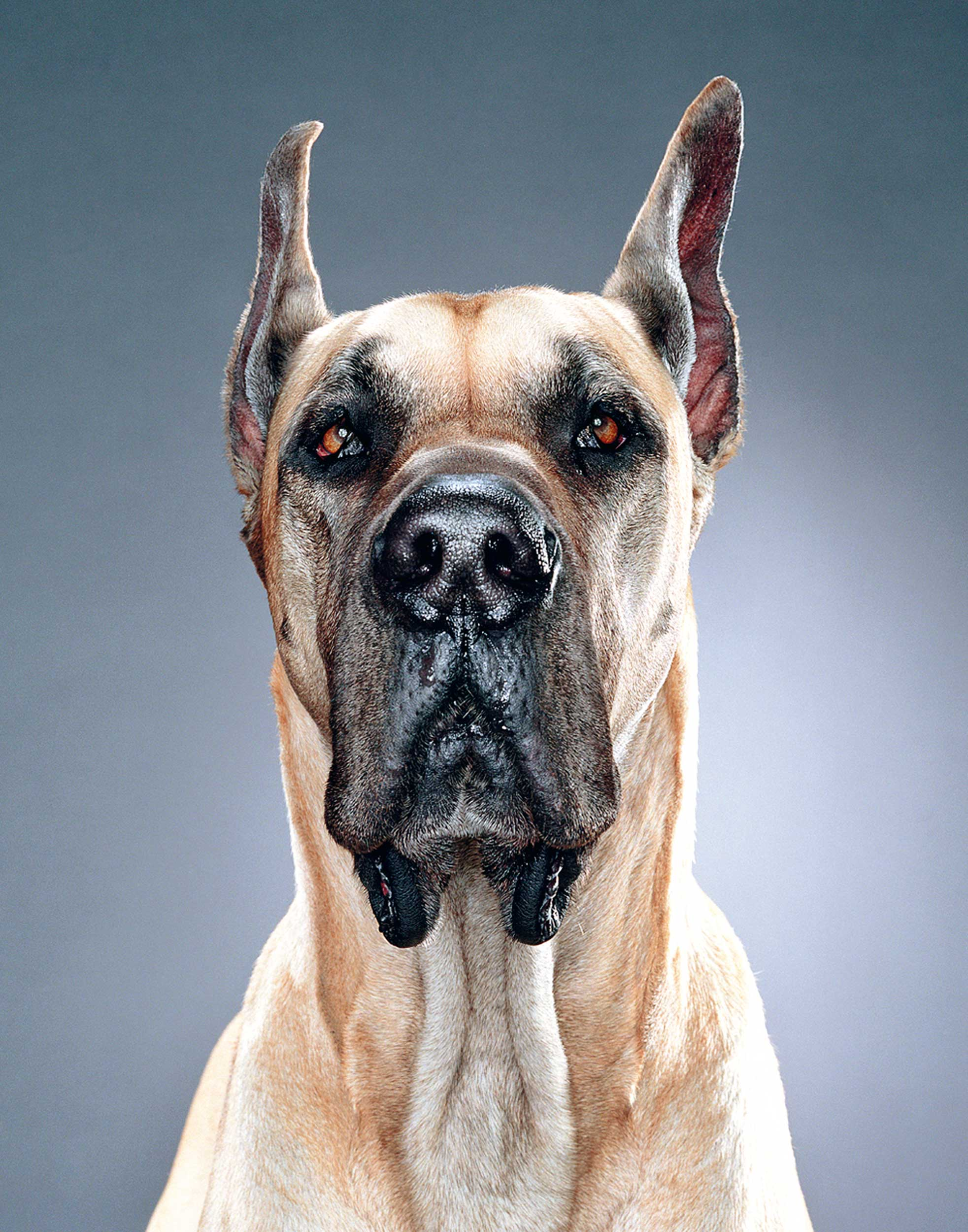 Dogs-Great+Dane_FJX.jpg