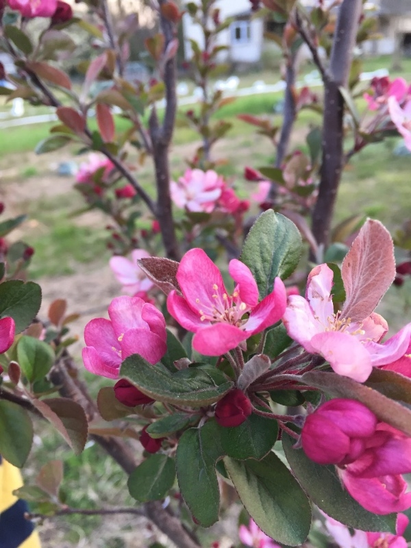 Prairie Fire Crab Apple Blossoms, April 2018
