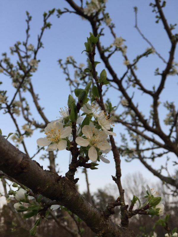 Plum Blossom, April 2018